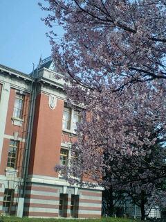 市政資料館の桜