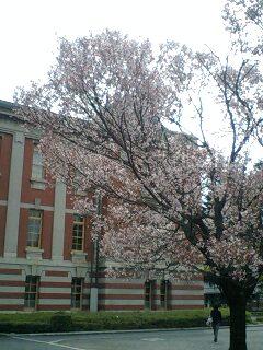 今朝見た桜