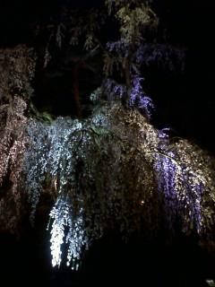 弘前公園で夜桜見物